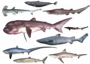 色々なサメ